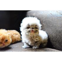Hermosos Gatitos Persas