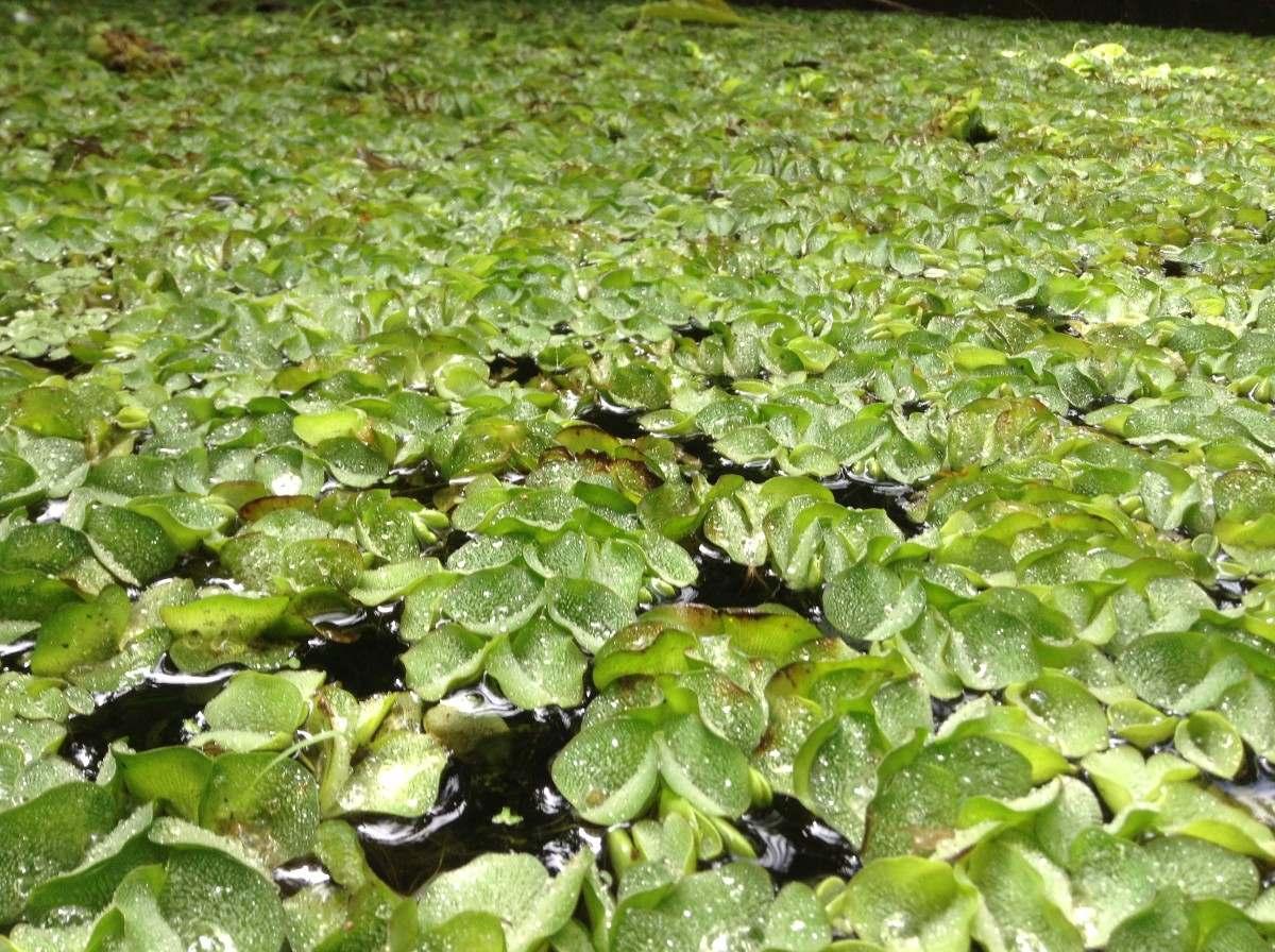 Helecho Flotante Silvinia Natans Plantas Acuáticas Flotante  $ 100