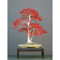 Semillas Bonsai Arce Americano Maple
