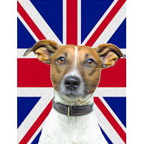 Jack Russell Terrier Inglés Con Union Jack Británica Bande