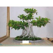 Bonsai Flor Arbol 60 Semillas, Instructivo Y Envío Gratis