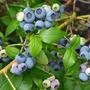 Plantas De Vivero Blueberry Var Rabbiteye Organicas