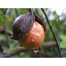 Un Arbolito De Nuez De Macadamia