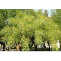 Arbol Espino De Jerusalen (parkinsonia Aculeata)