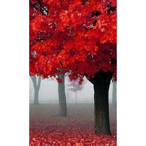 Arbol De Encino Rojo (quercus Rubra)
