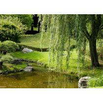 Arbol De Sauce Lloron, Salix Babylonica