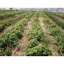 Planta De Frambuesa,zarzamora Cultivoagroecológico May/men