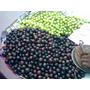 Arbolitos De Coffe Plum Flacourtia Jangomas