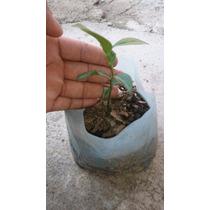 Plantita Limon Real