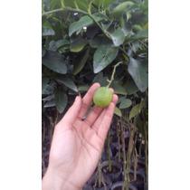 Limon Persa, Arborlitos, Citricos, Los Mejores,