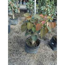 Amate Sagrado Ficus Religiosa Para Bonsai O Crecimiento