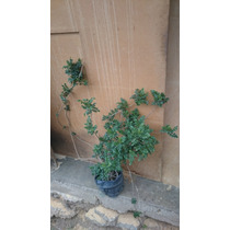 Par De Bignonias Pre-bonsai, Buen Grosor