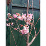 Cerezos Japoneses Chicos, Para Bonsai Y Jardin