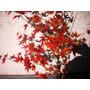 Arces Palmatum De Japon, Varios Tamaños Para Jardin O Bonsai