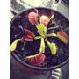 Planta Carnívora Venus Atrapamoscas