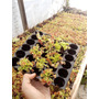Dionaeas Mayoreo Charola 100pz