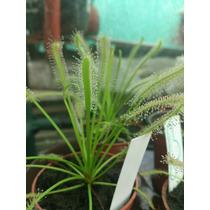 Plantas Carnívoras D. Capensis Alba