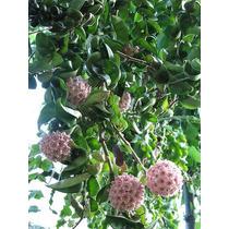 Hoya Carnosa Compacta Flor De Cera Planta Grande No Esqueje