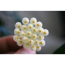 Hoya Carnosa Lacunosa Flor De Cera Planta Grande No Esqueje