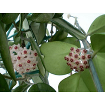 Hoya Carnosa Hoya Kerrii Flor De Cera Planta Grande