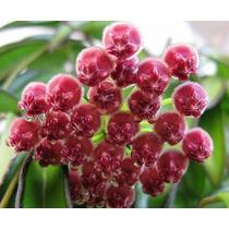 Hoya Carnosa Wayetii Flor De Cera Planta Grande No Esqueje