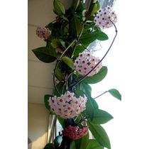 Hoya Carnosa Flor De Cera Planta Grande No Esqueje