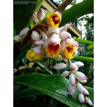 Planta Exótica Heliconia Shell Ginger Variegada Rizoma Bulbo