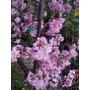 Cerezo Japones Cherry Blossom Prunus Serrulata 4 Metros