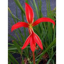 Planta Exótica Sprekelia Formosissima Flor De Liz Aztec Lily