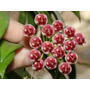 Planta Exótica Hoya Wayetti - Flor De Cera - Flor Porcelana