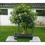 Plantula Jazmín Naranja, Murraya, Azahar De La India.