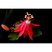 Enredadera Pasionaria Roja Flor De La Pasion