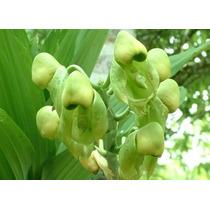 Venta De Orquídeas Catasetum Integerrimum