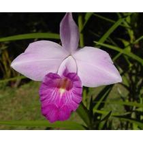 Orquideas Arundina Graminifolia Orquídea Bambú