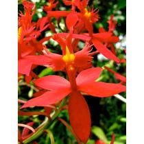 Orquidea Epidendrum X Obrienianum