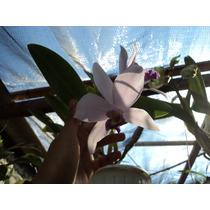 Orquidea Cattleya Lila Claro Hibrida Maceta Grande