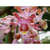 Venta De Orquídeas Myrmecophila Tibicinis