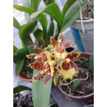 Orquidea Leocidium Hibrido