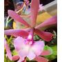 Orquidea Epicattleya Hibrida
