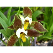 Venta De Orquídeas Lycaste Deppei