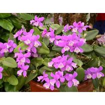 Venta De Orquídeas Cattleya Loddigesii