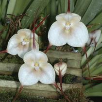 Orquideas (dracula Amaliae)