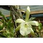 Venta De Orquídeas Rhyncholaelia Glauca