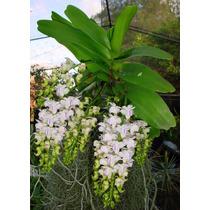 Venta De Orquídeas Aerides Odorata