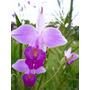 Venta De Orquídeas Arundina Bambusifolia