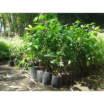Planta De Bambu Guadua Angustifolia