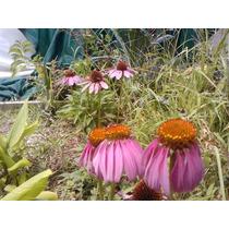 Semillas De Echinacea Purpurea Cosecha Fresca Y Propia!!!