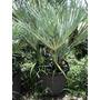 Palma Azul Europea Chamaerops Humilis Var. Argentea Muy Rara