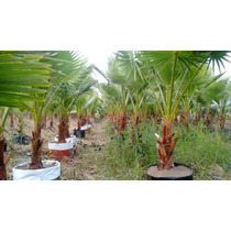 Palma Washingtonia!somos Productores Tallo50-59cm Tot.160cm