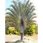 Palma Triangular Palma Dypsis Decaryi